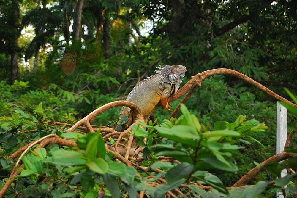 Iguanas de Costa Rica